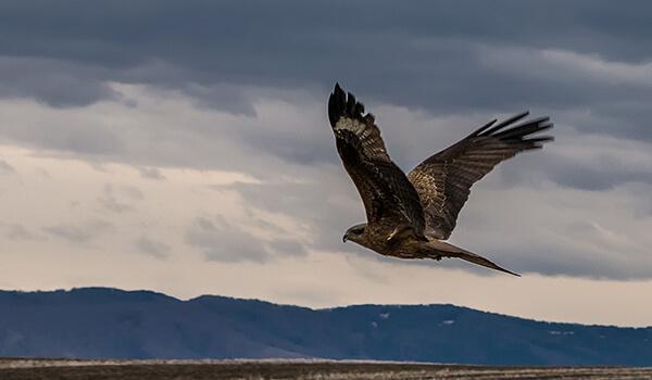 Фото: Чёрный коршун в небе