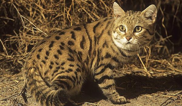 Фото: Черноногая кошка из Красной книги