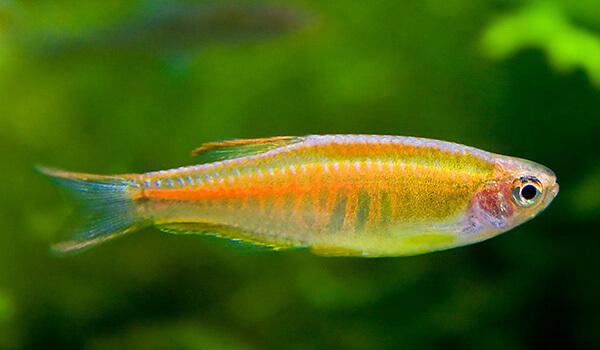 Фото: Рыба данио