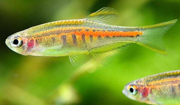 Фото: Аквариумные рыбки данио