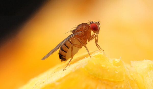 Фото: Насекомое муха дрозофила