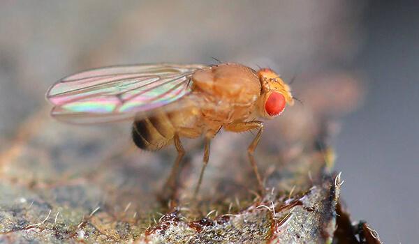 Фото: Самец мухи дрозофилы