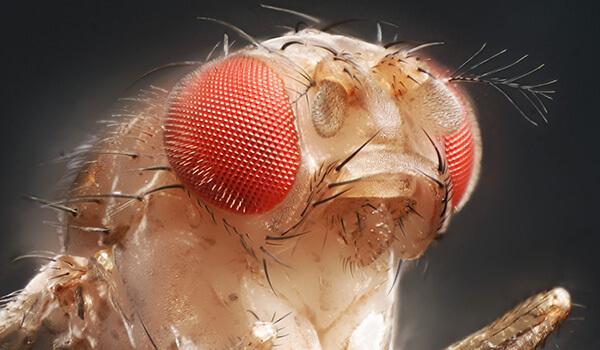Фото: Как выглядит муха дрозофила