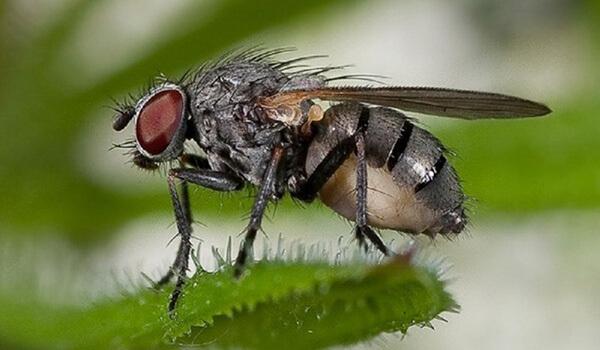 Фото: Муха дрозофила в природе