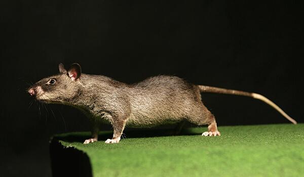 Фото: Гамбийская хомяковая крыса