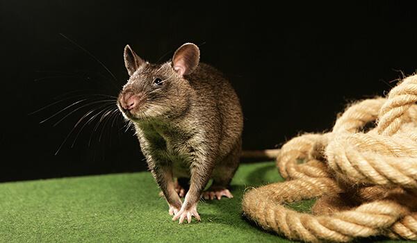 Фото: Гамбийская крыса