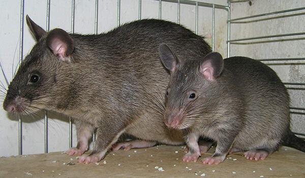 Фото: Детеныш гамбийской крысы