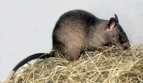 Фото: Африканская гамбийская крыса
