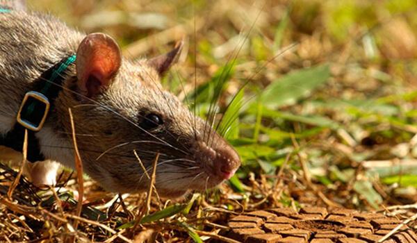 Фото: Гамбийская сумчатая крыса