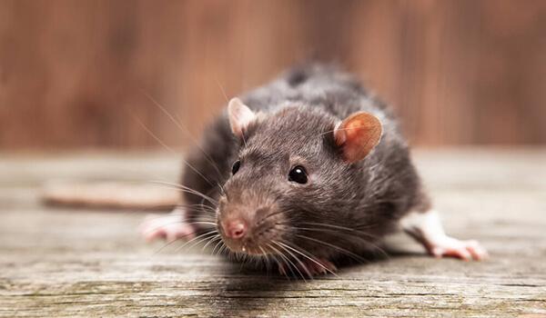 Фото: Как выглядит гамбийская крыса