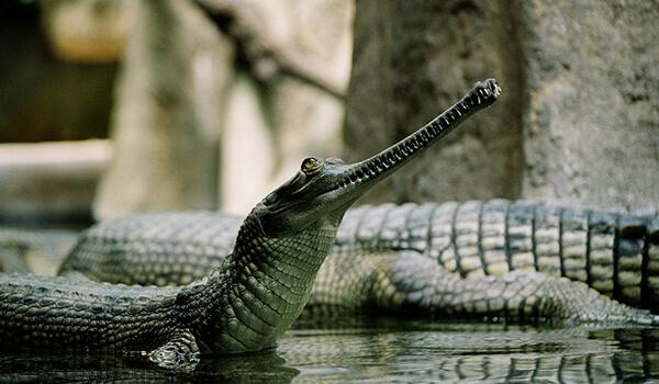 Фото: Крокодил гавиалы