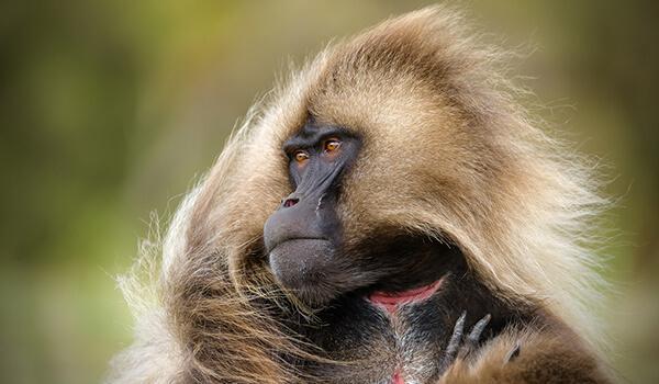 Фото: Африканская гелада