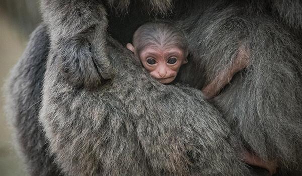Фото: Детеныш гиббона