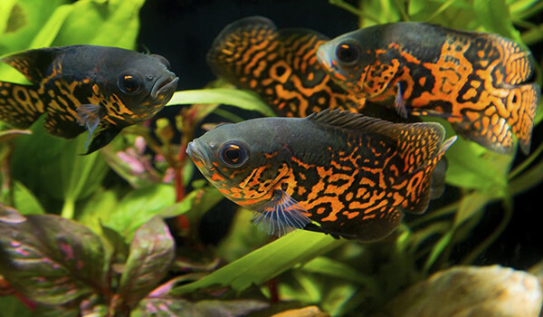 Фото: Рыбки глазчатый астронотус