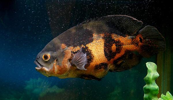 Фото: Рыба глазчатый астронотус