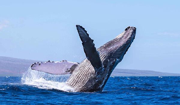 Фото: Горбатый кит в море