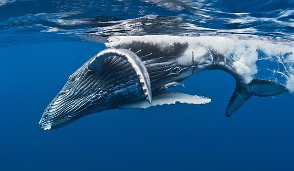 Фото: Горбатый кит в Доминикане