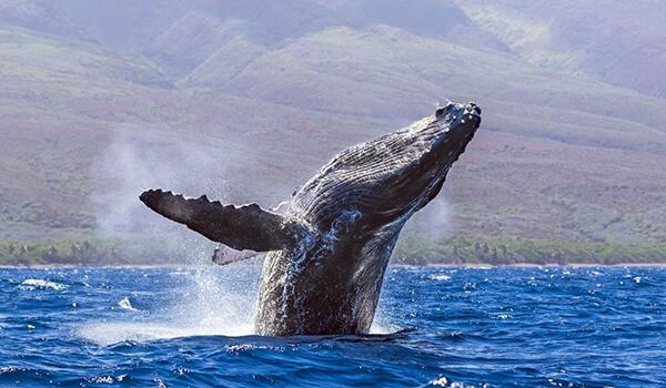 Фото: Как выглядит горбатый кит