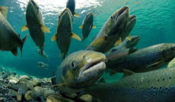 Фото: Рыба горбуша
