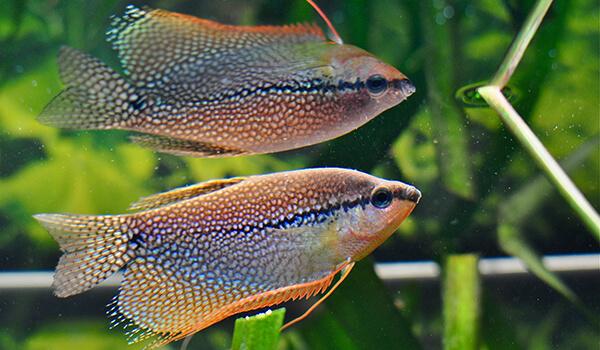 Фото: Пара рыбок гурами