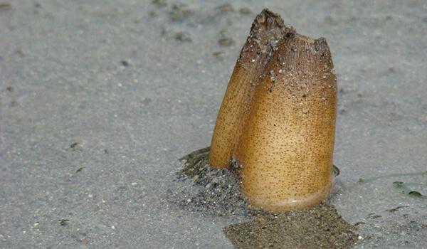 Фото: Моллюск гуидак