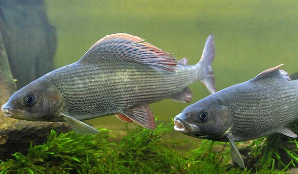 Фото: Рыба хариус