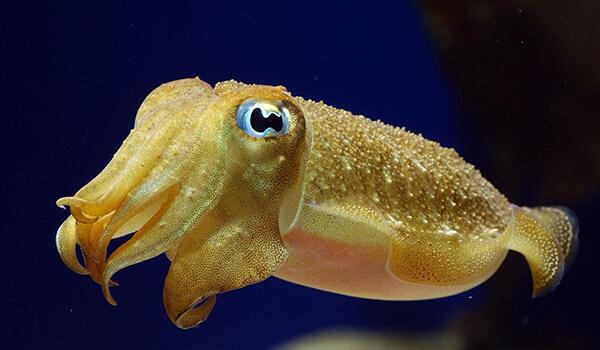 Фото: Детеныш каракатицы