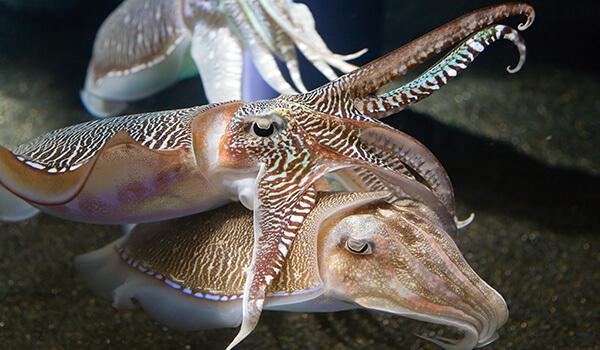 Фото: Осьминог каракатица