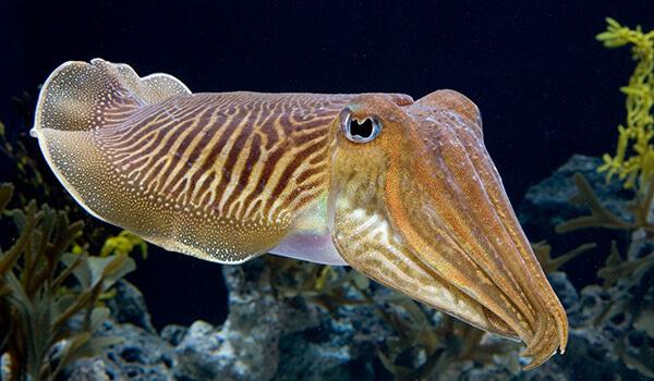 Фото: Как выглядит каракатица