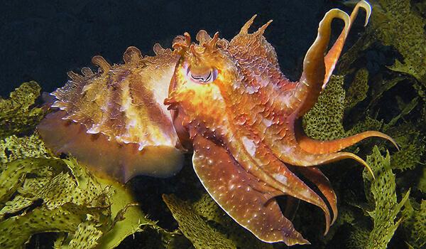Фото: Каракатица в море