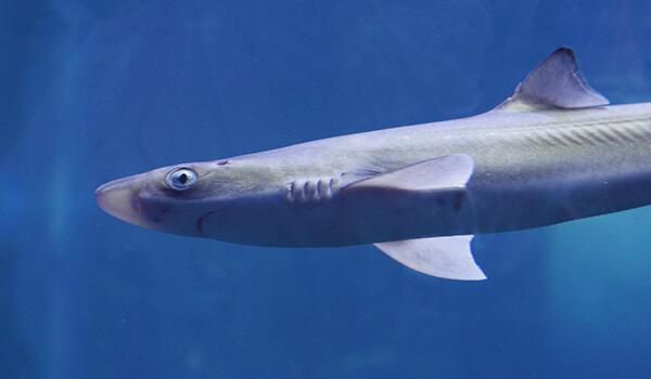 Фото: Акула катран