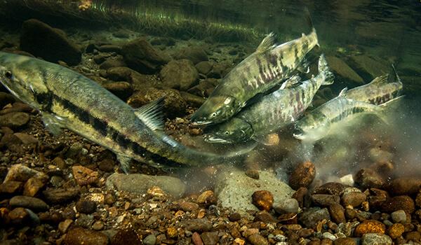Фото: Рыба кета