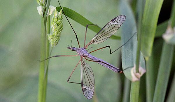 Фото: Комар долгоножка