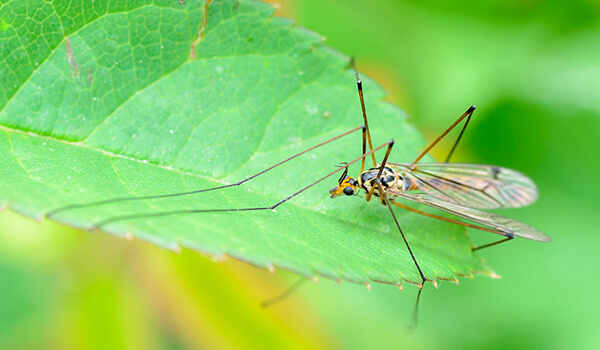 Фото: Насекомое комар долгоножка
