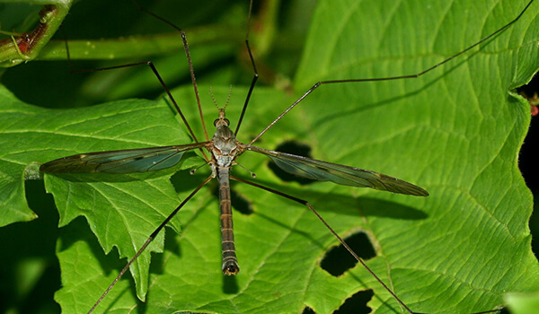 Фото: Как выглядит комар долгоножка