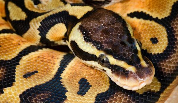 Фото: Змея королевский питон