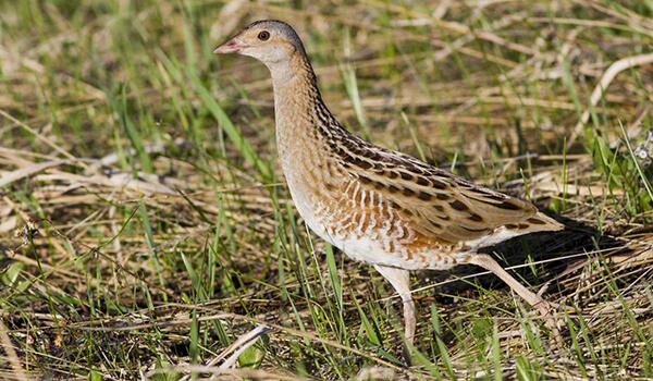 Фото: Коростель, или птица дергач