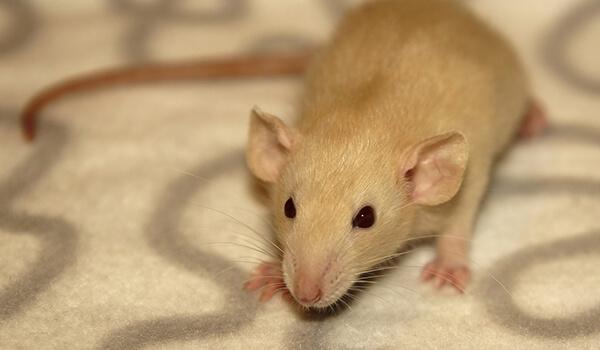Фото: Декоративная крыса дамбо
