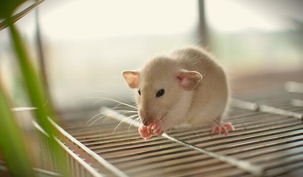 Фото: Домашняя крыса дамбо