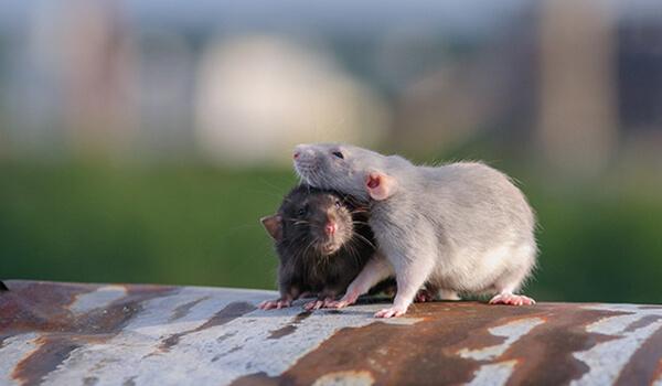 Фото: Самец и самка дамбо