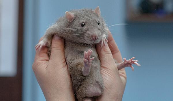 Фото: Как выглядит крыса дамбо
