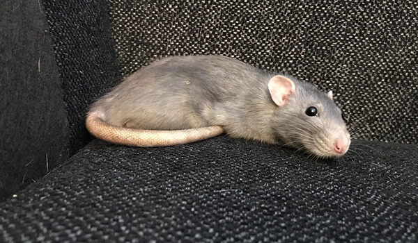 Фото: Крыса дамбо в домашних условиях