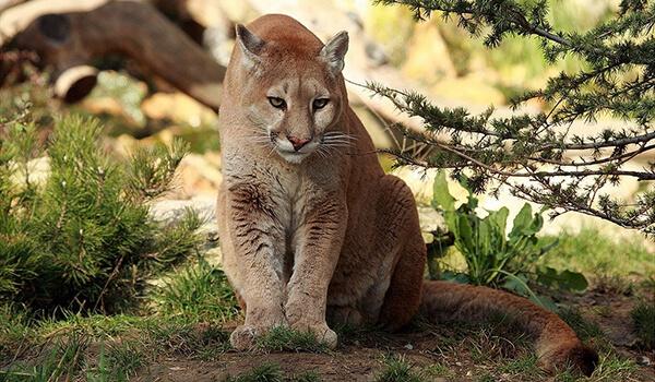 Фото: Кугуар в природе