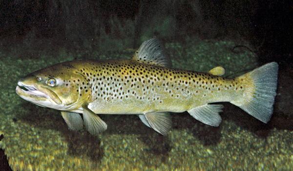 Фото: Рыба кумжа