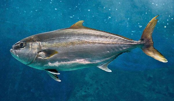 Фото: Рыба лакедра