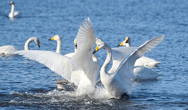 Фото: Лебеди-кликуны