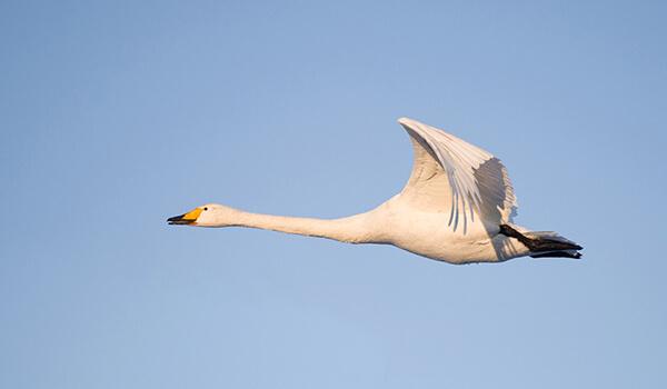 Фото: Лебедь-кликун в полёте