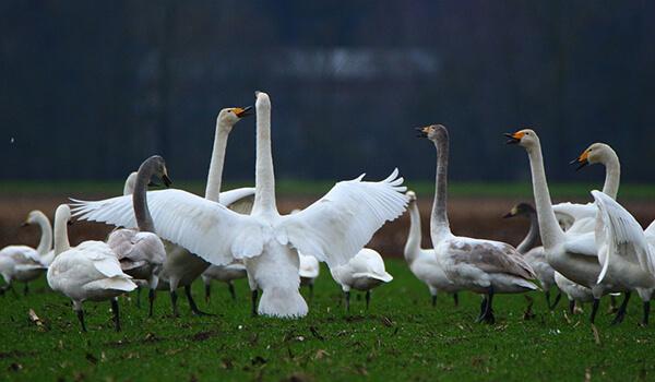 Фото: Птенцы лебедя-кликуна