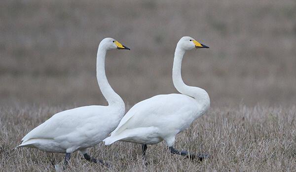 Фото: Лебедь-кликун из Красной книги
