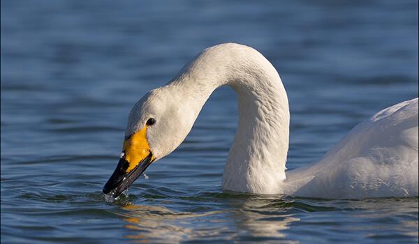 Фото: Как выглядит лебедь-кликун